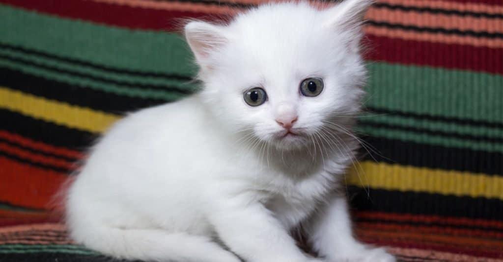 Turkish Angora kitten playing on a bed.