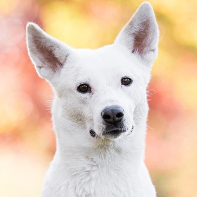 canaan puppy