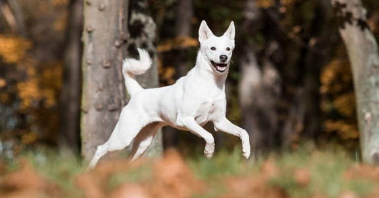 canaan dog playing