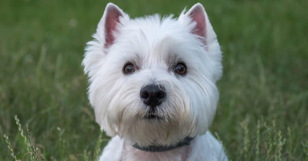 West Highland Terrier laying in the grass in a park
