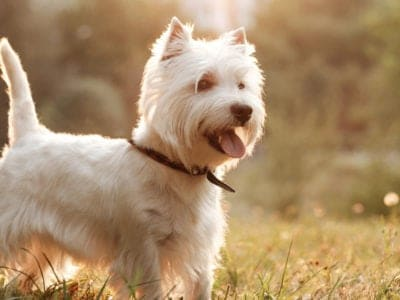 A West Highland Terrier