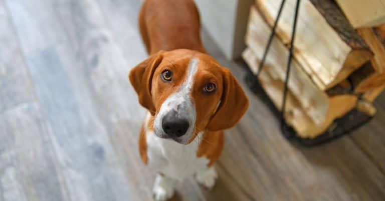 Drever dog standing on a wood floor