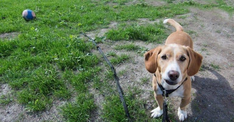 Drever dog standing in a grassy yard
