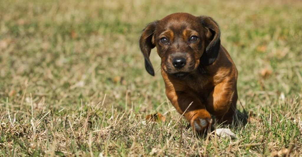 Alpine Dachsbracke puppy