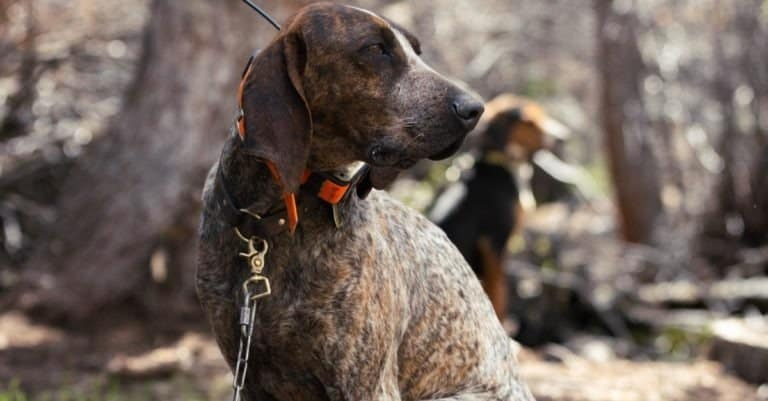 American coonhound sitting in the woods