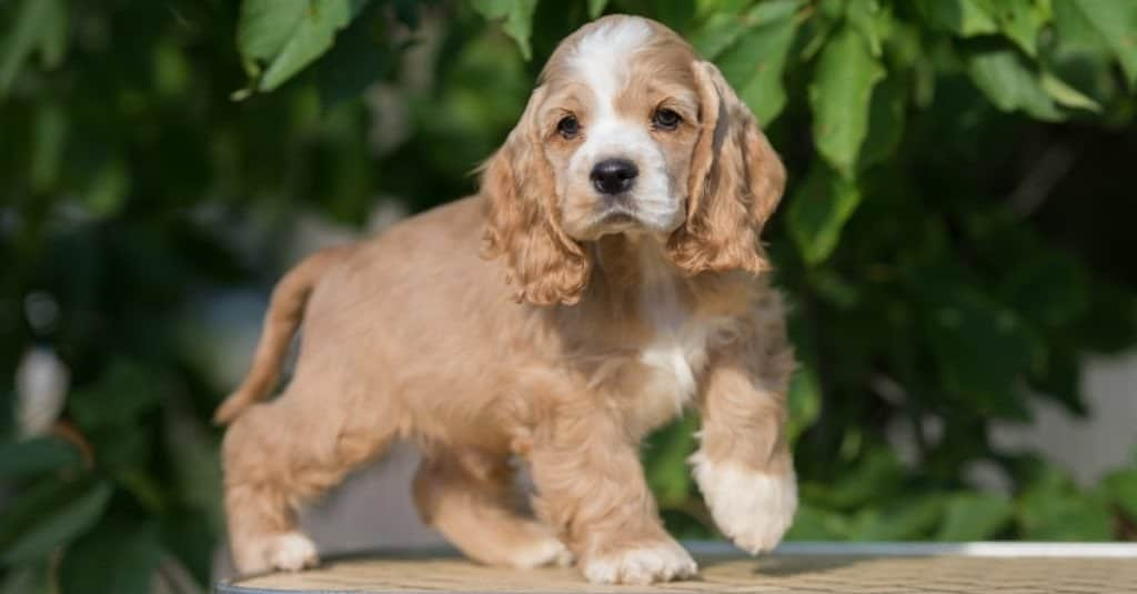red and white american cocker spaniel puppy