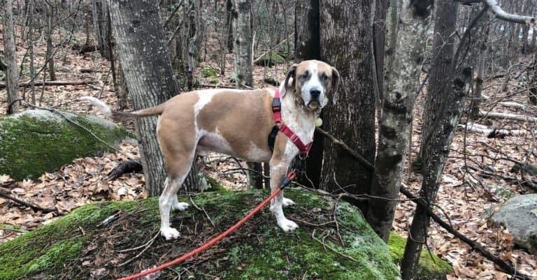 American Coonhound hiking