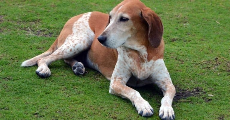 An American Coonhound resting on the grass at Southpointe Park in Miami Beach, Florida