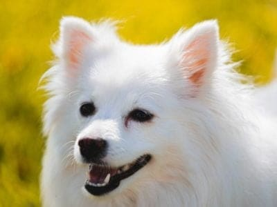 A American Eskimo Dog
