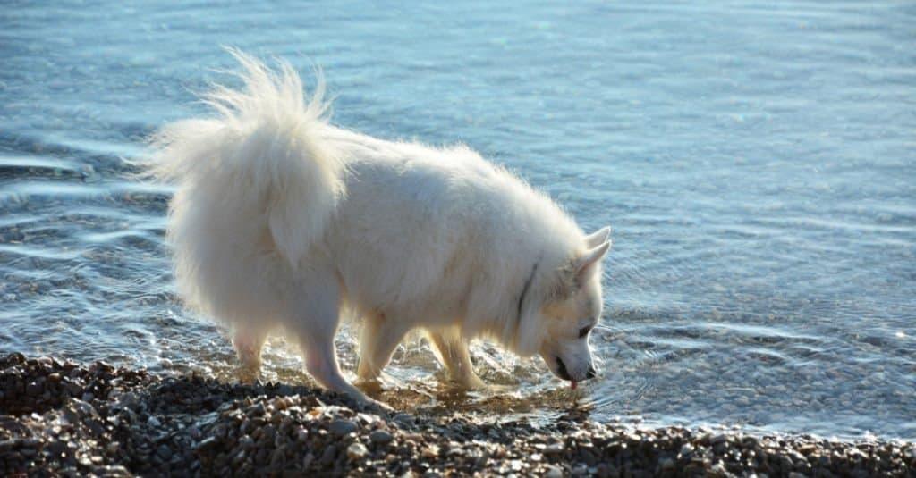 American Eskimo Dog on beach