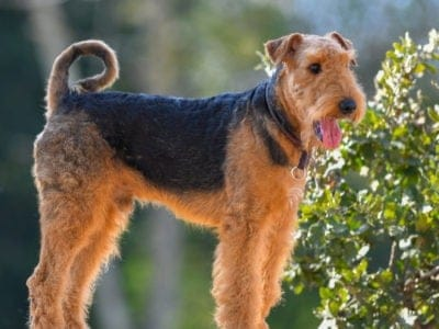 A Airedale Terrier