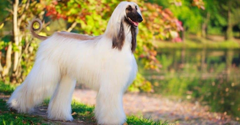 Afghan Hound standing in a park