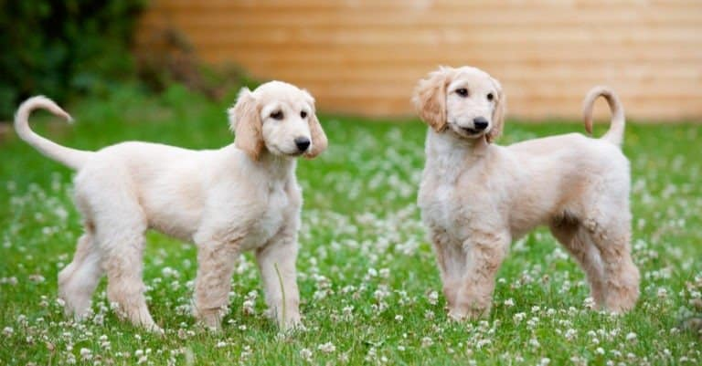 Afghan Hound Puppies standing in grass