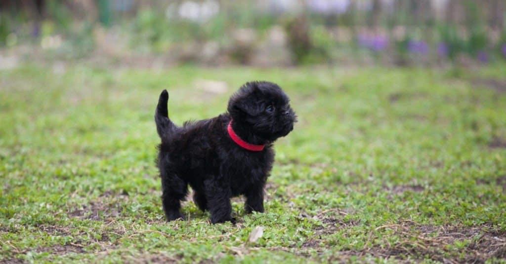 Affenpinscher puppy standing in the grass