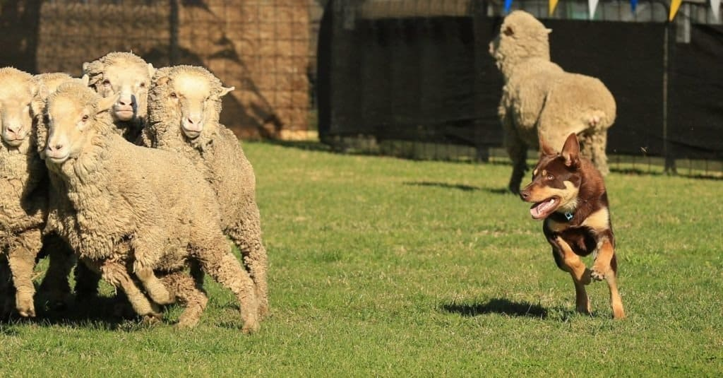 Red and tan Australian Kelpie herding a group of sheep.