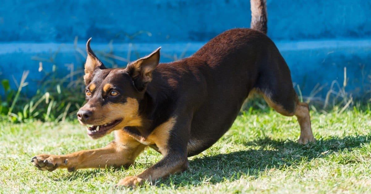Australian Kelpie Dog Dog Breed Complete Guide   AZ Animals