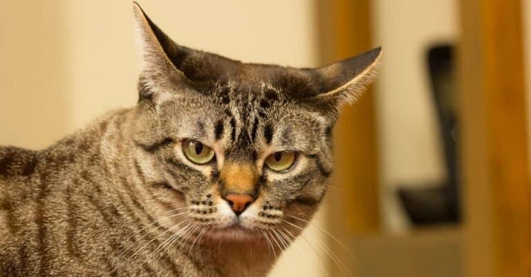Close-up of a very serious Australian Mist cat.