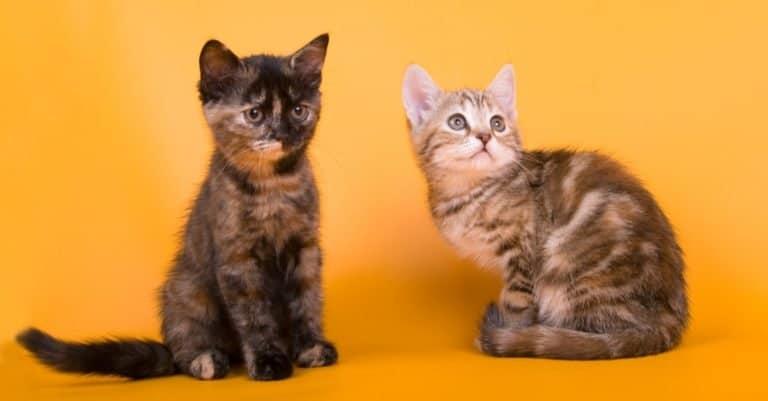 Two playful Australian Mist kittens sitting on a yellow background.
