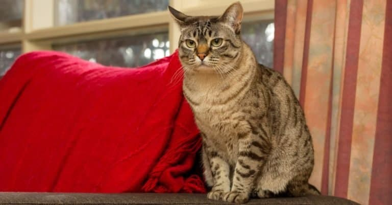 Australian Mist, a short-haired cat developed in Australia, sitting on the couch.