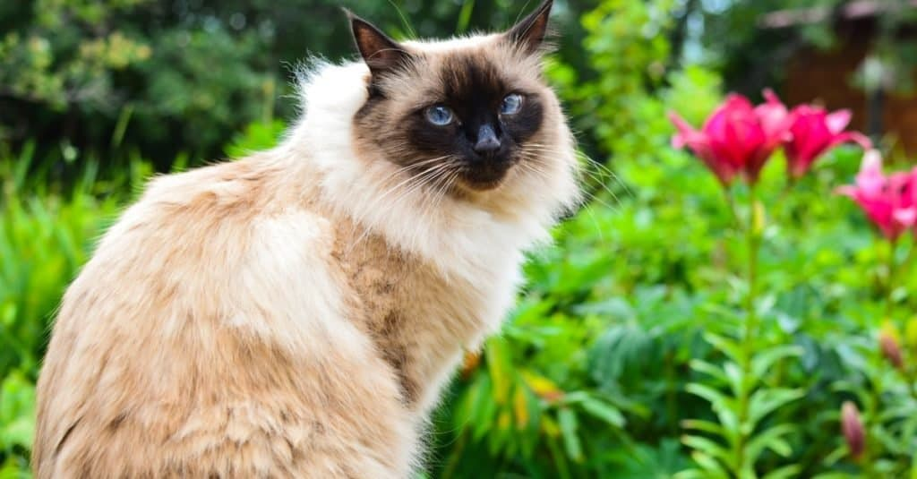 Balinese cat sitting outside in the garden.
