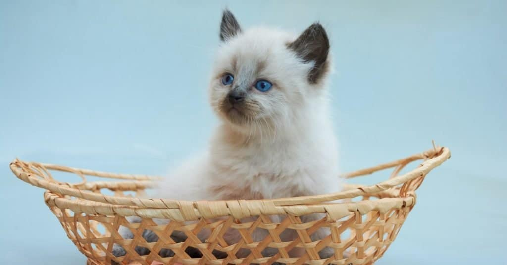 Balinese kitten playing in the basket.