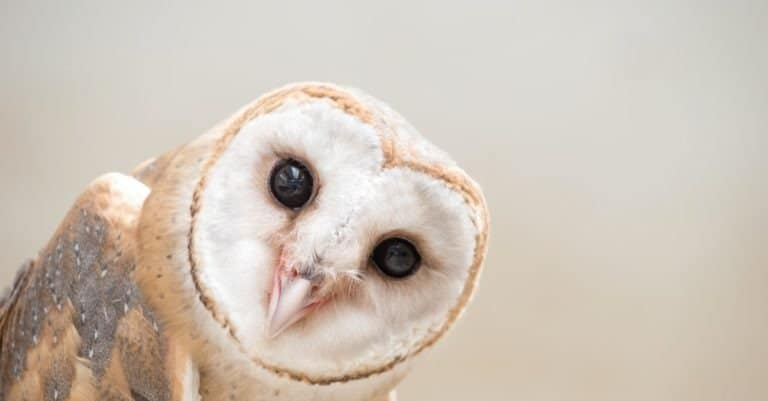 Common Barn owl (Tyto alba) head close up