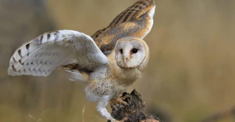 Magnificent Barn Owl perched on a stump in the forest (Tyto alba)