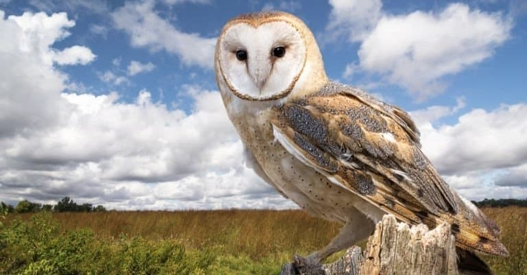 A Barn Owl perched on a dead tree stump in a meadow