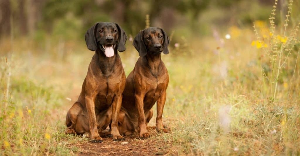 Two hunting dogs, Bavarian mountain hound hunting in the woods