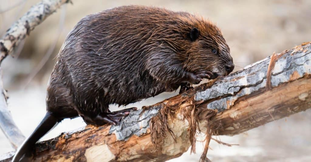 Beaver in the Canadian wilderness