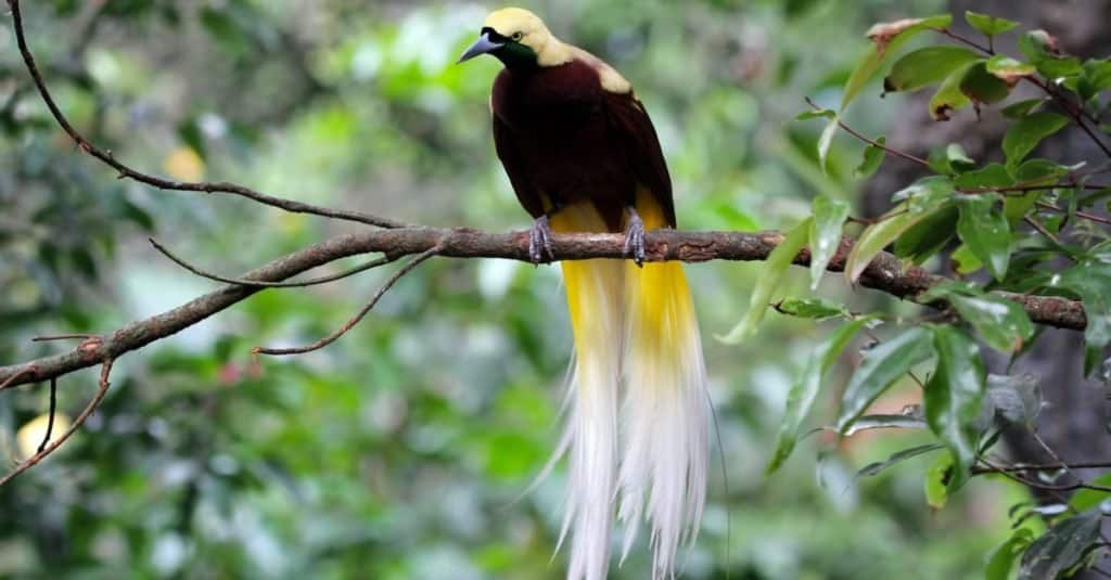 Beautiful bird of paradise sitting on a branch.