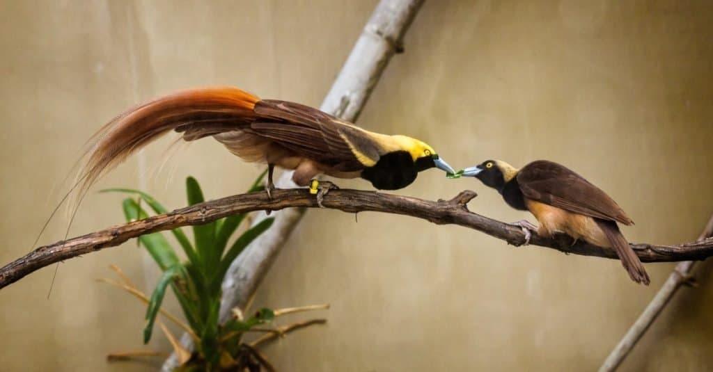 Raggiana bird of paradise courtship - (Paradisaea raggiana)