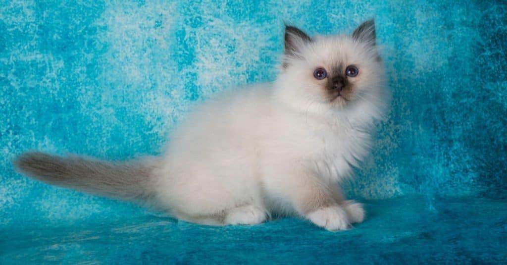 Birman kitten in front of a blue background.