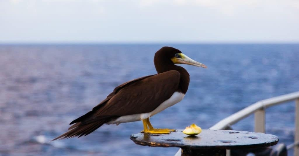 Portrait of a brown booby bird (Sula leucogaster) sitting on a ship in the ocean, close-up