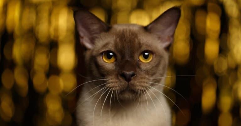 Closeup portrait of Burmese Cat