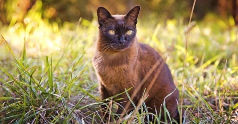 Brown Burmese cat in the garden.