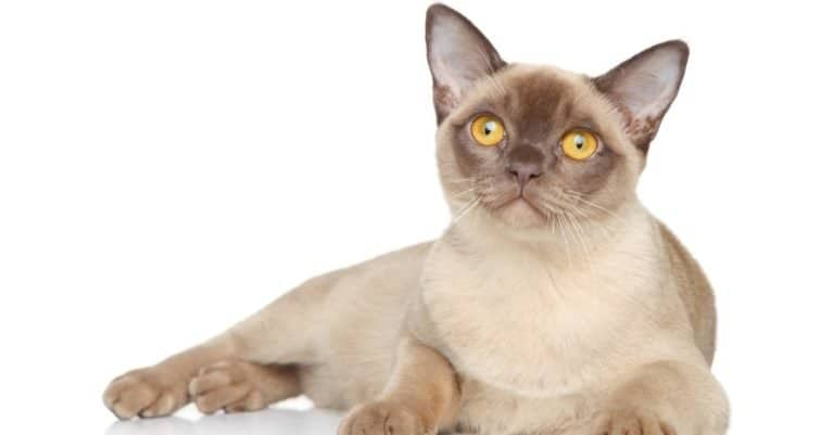 Burmese cat isolated on a white background.