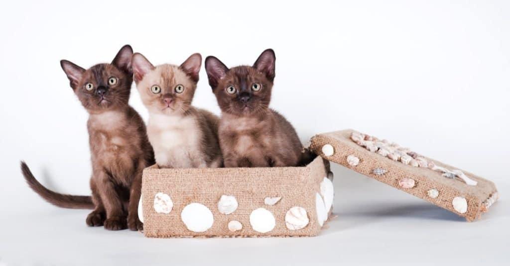 Three Burmese kittens playing in a box.
