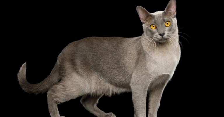 Beautiful gray Burmese cat isolated black background, side view.