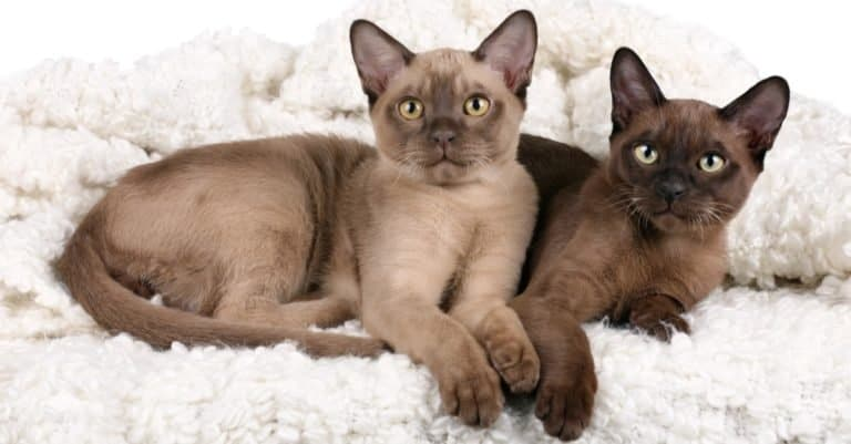 Two Burmese cats lying on a fluffy blanket.