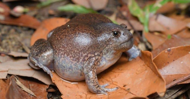 Blunt-headed burrowing frog - Mueang Loei District, Loei Province