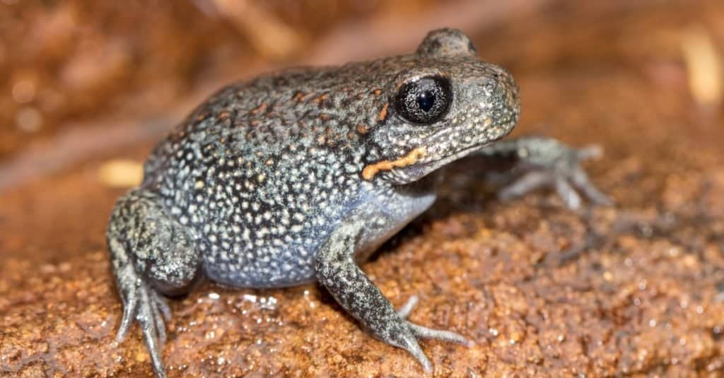 Giant Burrowing Frog resting on rock