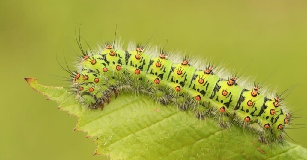 Caterpillar-emporer-1024x535.jpg