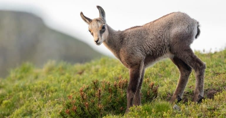 Chamois cub standing on the mountain meadow