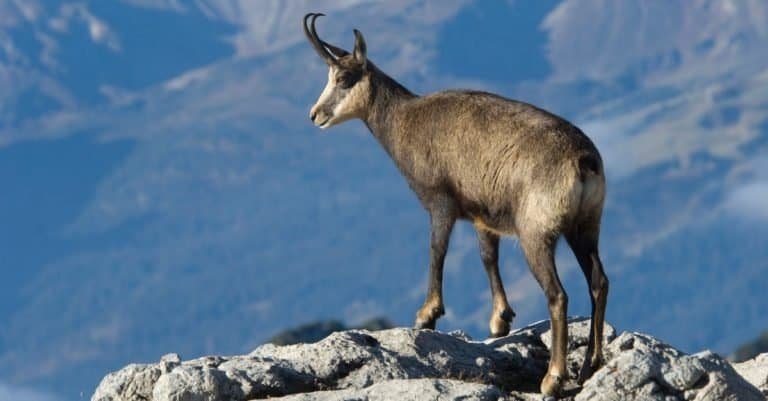 Chamois at the top of a mountain