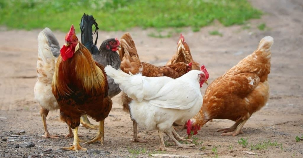 Free range chickens. Rooster and Chickens
