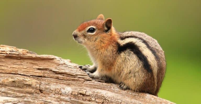 Rocky Mountain Chipmunk found in Afton, Wyoming