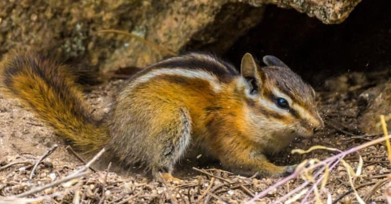 Chipmunk playing near its nest in Colorado