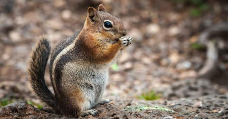 Mountain Chipmunk Eating Standing on a rock