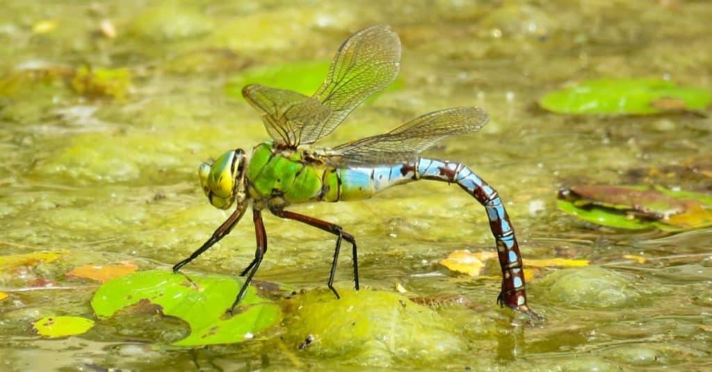 Emperor Dragonfly, UK